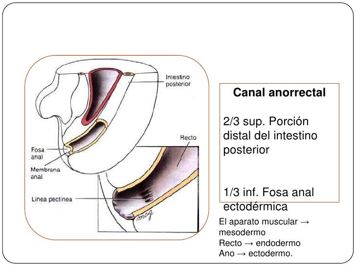 Canal anorrectal<br />2/3 sup. Porción distal del intestino posterior<br />1/3 inf. Fosa anal ectodérmica<br />El aparato ...