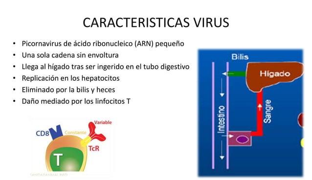 Epidemiologia y transmisión  • 400 millones portadores del virus  • Se calcula que infectará a más de 2.ooo millones de pe...