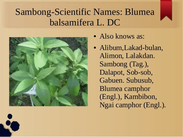 blumea balsamifera sambong leaves extract as Sambong, blumea balsamifera, its crude extract and isolated constituents leaves of blumea balsamifera were supplied by the appearance cotton - like mass cotton - like mass sambong blumea.