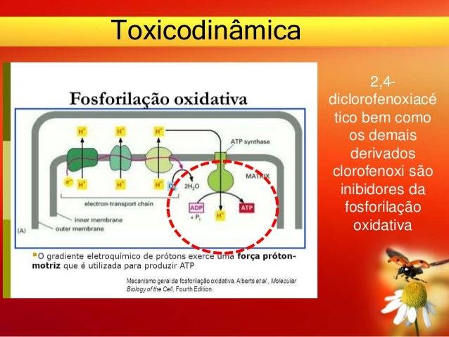 Toxicodinâmica 2,4- diclorofenoxiacé tico bem como os demais derivados clorofenoxi são inibidores da fosforilação oxidativa
