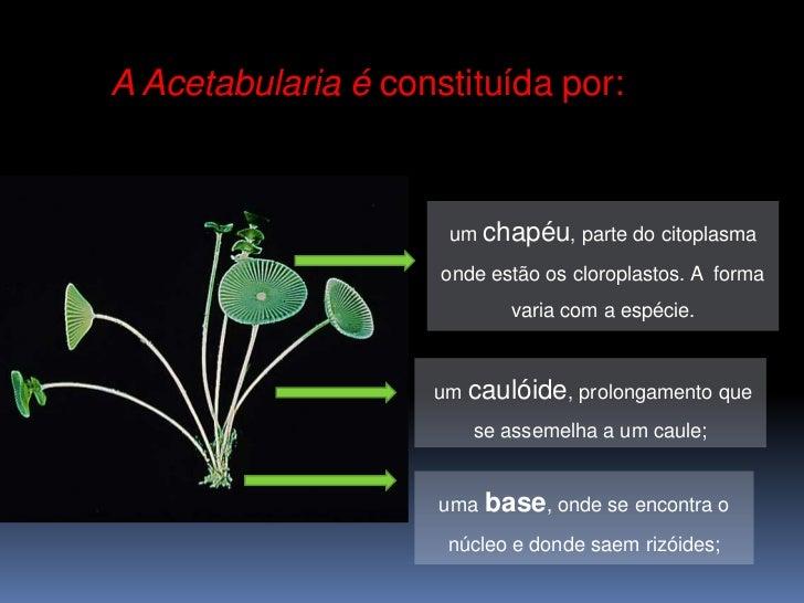 A Acetabularia é constituída por:                     um chapéu, parte do citoplasma                     onde estão os clo...