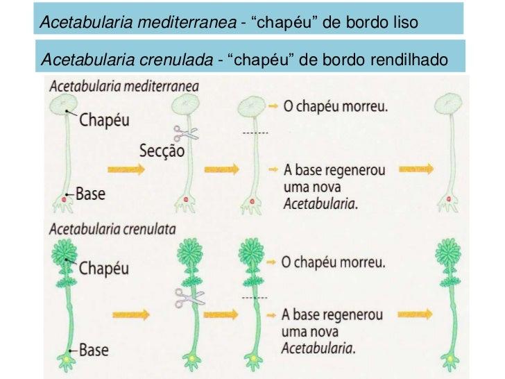 "Acetabularia mediterranea - ""chapéu"" de bordo lisoAcetabularia crenulada - ""chapéu"" de bordo rendilhado"
