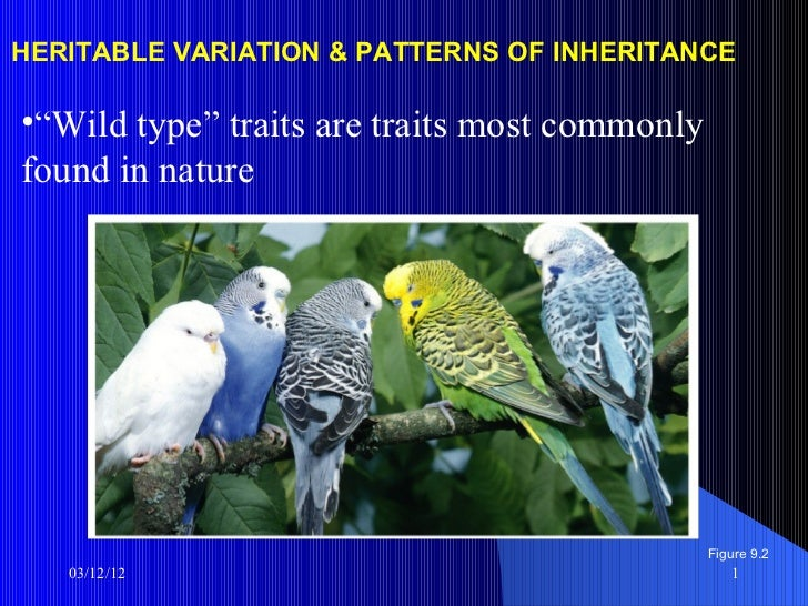"HERITABLE VARIATION & PATTERNS OF INHERITANCE•""Wild type"" traits are traits most commonlyfound in nature                  ..."