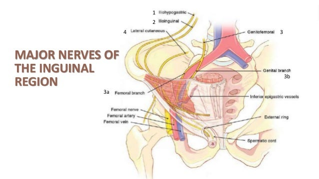 Diagram Nerve Inguinal Area - Wiring Library •