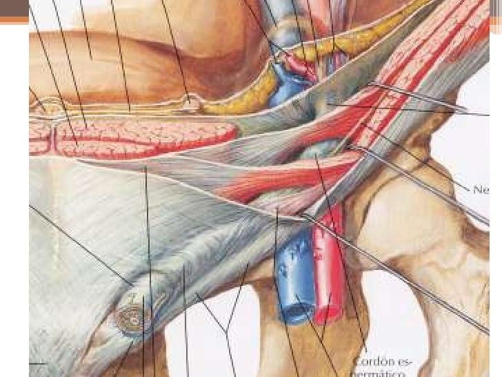 Moderno Anatomía Y Fisiología De La Hernia Molde - Anatomía de Las ...