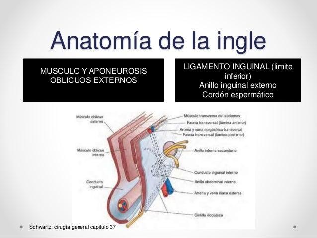 Magnífico Los Músculos De La Ingle Ornamento - Anatomía y Fisiología ...