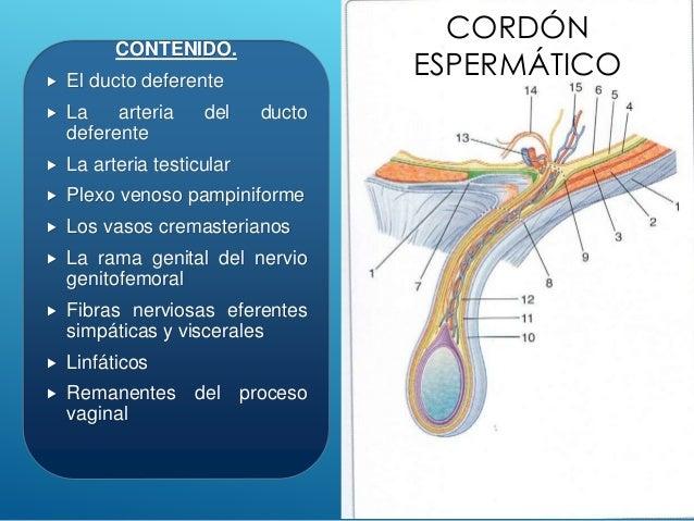 Hernias inguinales y torsion testicular