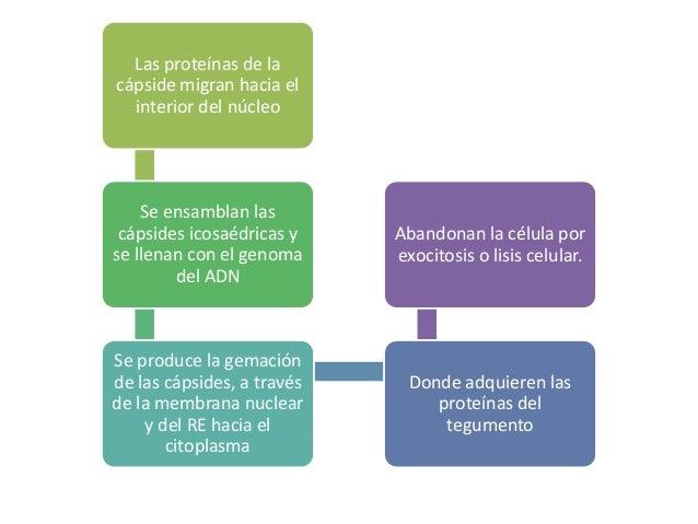 PATOGENIA…  Puede provocar infecciones líticas en la mayoría de las células  infecciones persistentes en linfocitos y macr...