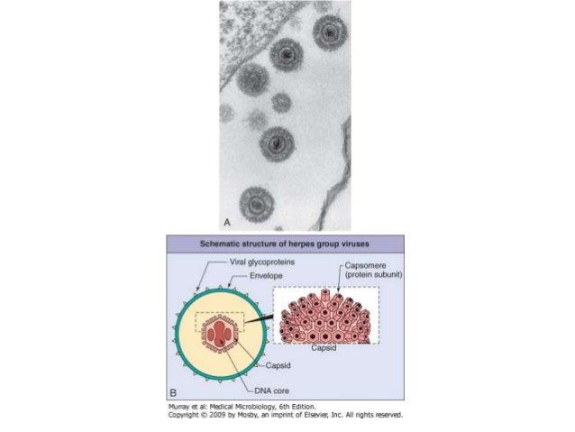 Para producir el RNAm la RNA polimerasa dependiente de DNA copia la cadena negativa produciendo una cadena positiva de RNA...