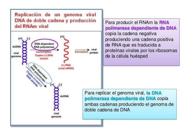 Su modelo de replicación es válido para todos los miembros de todas la familias  La replicación ocurre en el núcleo de la ...