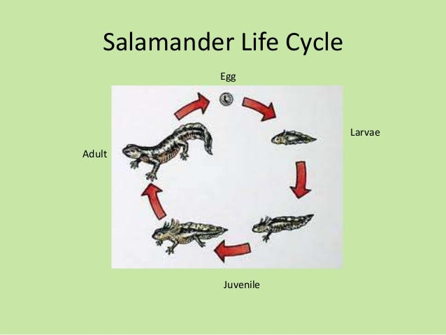 Life cycle of a toad