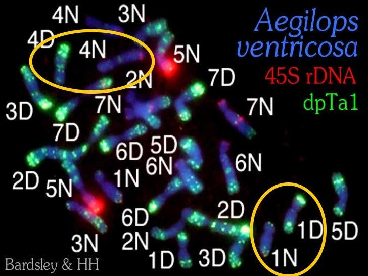 Cell fusionhybrid of two4x tetraploidtobaccospeciesPatel, Badakshi, HH,Davey et al 2011Annals of Botany