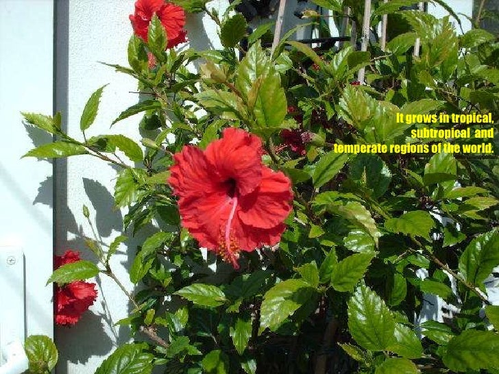 Hibiscus For Health