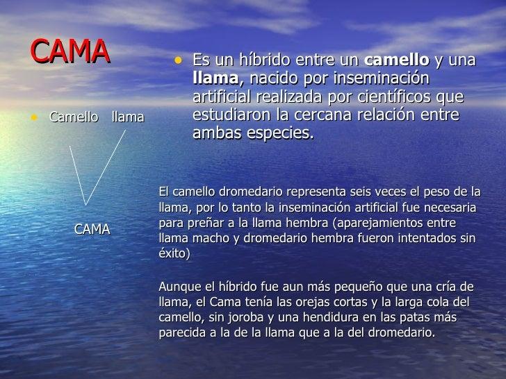 CAMA <ul><li>Camello  llama </li></ul><ul><li>CAMA </li></ul><ul><li>Es un híbrido entre un  camello  y una  llama , nacid...