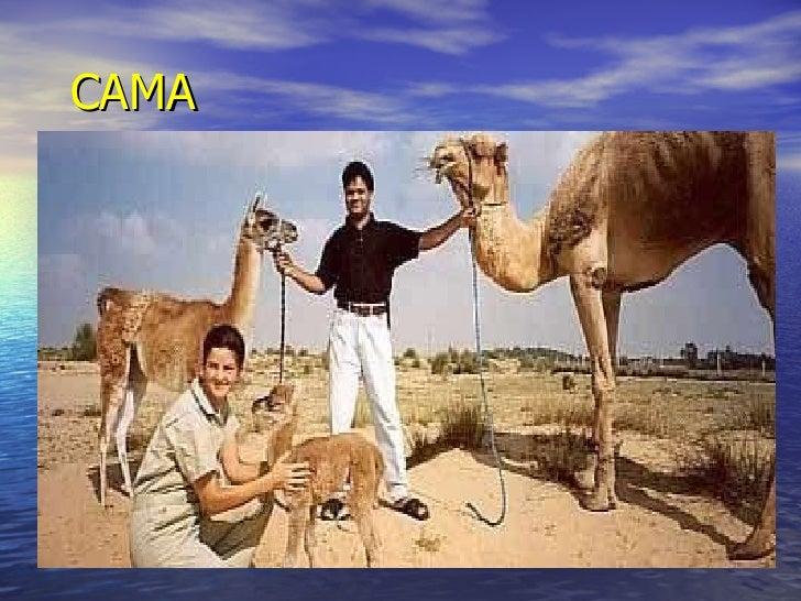 <ul><li>Camello  llama </li></ul><ul><li>CAMA </li></ul>CAMA