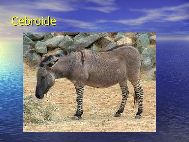 Cebroide