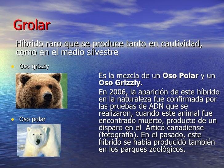 Grolar  <ul><li>Oso grizzly </li></ul><ul><li>Oso polar  </li></ul><ul><li>Híbrido raro que se produce tanto en cautividad...