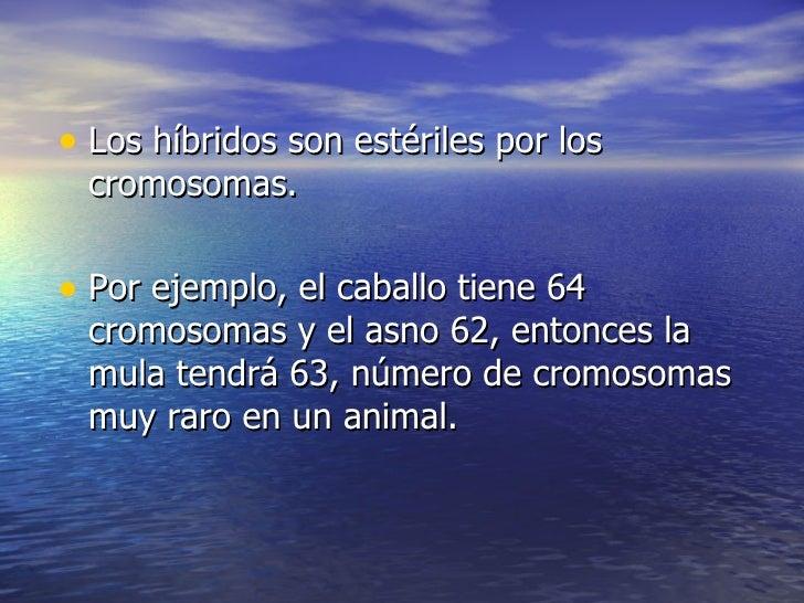 <ul><li>Los híbridos son estériles por los cromosomas. </li></ul><ul><li>Por ejemplo, el caballo tiene 64 cromosomas y el ...