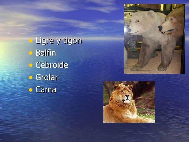 <ul><li>Ligre y tigon </li></ul><ul><li>Balfin  </li></ul><ul><li>Cebroide </li></ul><ul><li>Grolar </li></ul><ul><li>Cama...