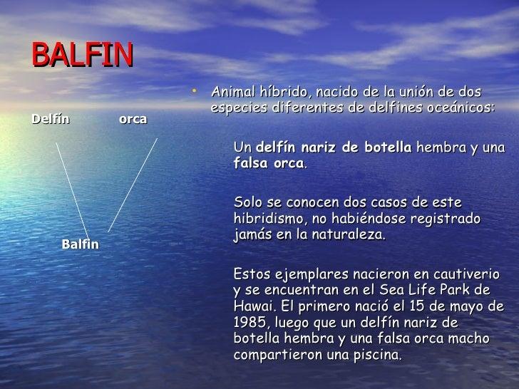 BALFIN <ul><li>Delfín  orca </li></ul><ul><li>Balfin   </li></ul><ul><li>Animal híbrido, nacido de la unión de dos especie...