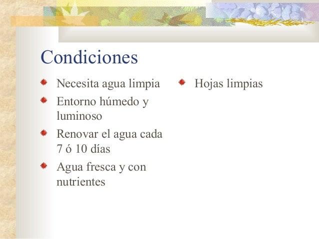 Condiciones Necesita agua limpia   Hojas limpias Entorno húmedo y luminoso Renovar el agua cada 7 ó 10 días Agua fresca y ...