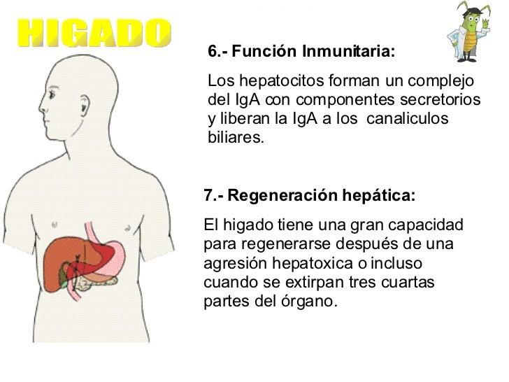 6.- Función Inmunitaria:  Los hepatocitos forman un complejo del IgA con componentes secretorios y liberan la IgA a los  c...