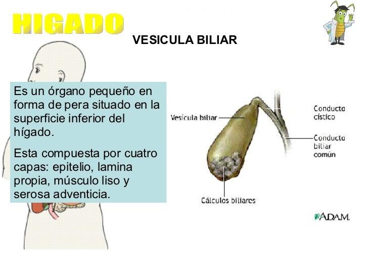 VESICULA BILIAR Es un órgano pequeño en forma de pera situado en la superficie inferior del hígado. Esta compuesta por cua...