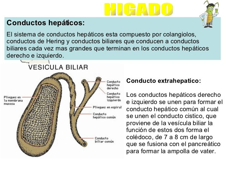 Conductos hepáticos: El sistema de conductos hepáticos esta compuesto por colangiolos, conductos de Hering y conductos bil...