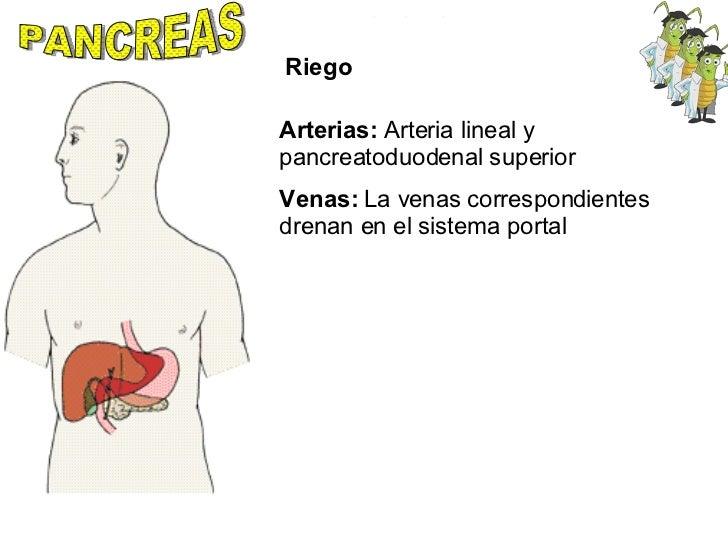 PANCREAS Riego Arterias:  Arteria lineal y pancreatoduodenal superior Venas:  La venas correspondientes drenan en el siste...