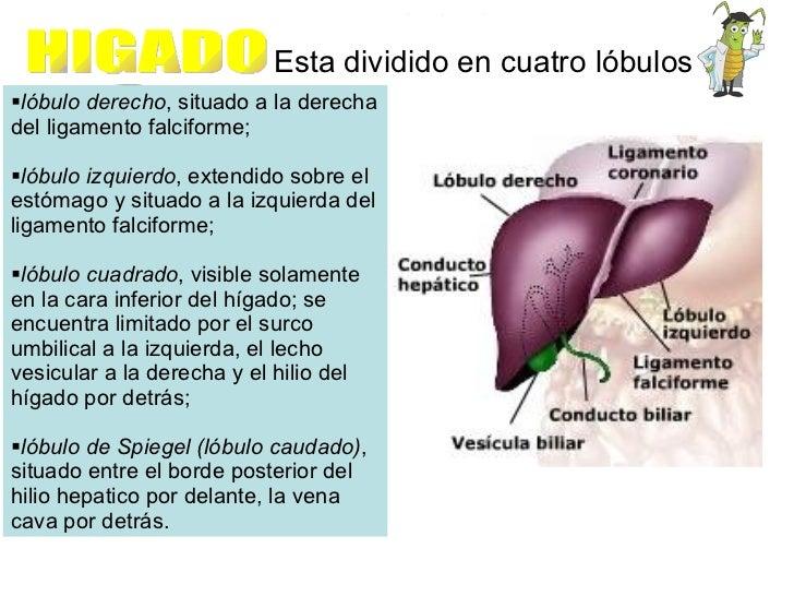 HIGADO Esta dividido en cuatro lóbulos <ul><li>lóbulo derecho , situado a la derecha del ligamento falciforme;  </li></ul>...