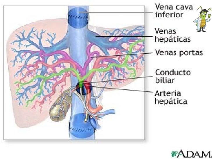 HIGADO Circulación sanguínea del hígado   La circulación hepática es de naturaleza centrípeta y está formada por el sistem...