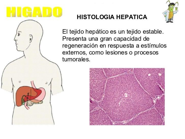 HIGADO HISTOLOGIA HEPATICA El tejido hepático es un tejido estable. Presenta una gran capacidad de regeneración en respues...
