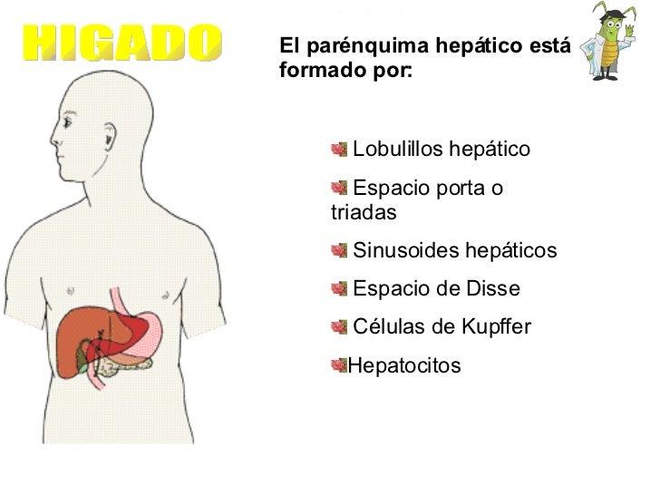 HIGADO El parénquima hepático está formado por: <ul><li>Lobulillos hepático </li></ul><ul><li>Espacio porta o triadas </li...