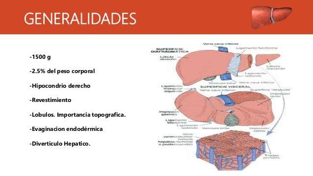 Caracteristicas histologicas del higado Slide 2