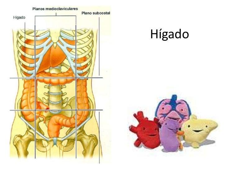 Higado anatomia