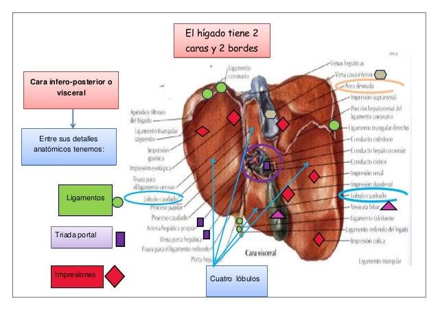 Anatomia del Higado,vias biliares y pancreas