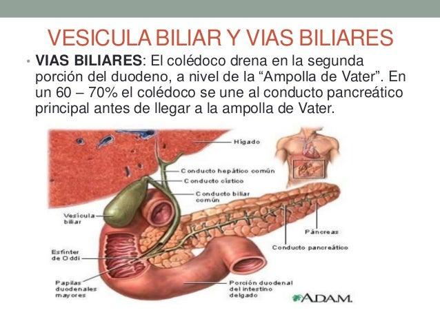 Higado vias biliares y pancreas