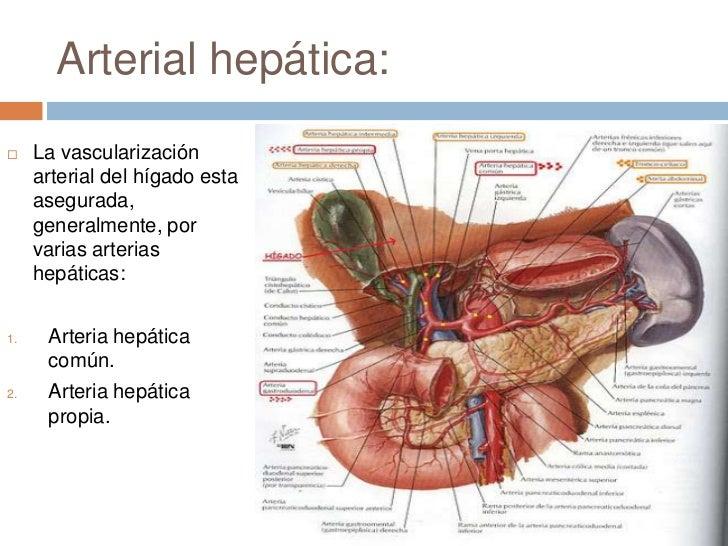 Lujoso Hígado Y Conducto Biliar Anatomía Patrón - Anatomía de Las ...