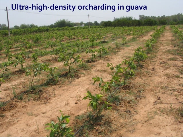  Benefit cost ratio of Ultra High Density guava orcharding for a period of 5 years is 3.1 as compared to 2.9 traditional ...