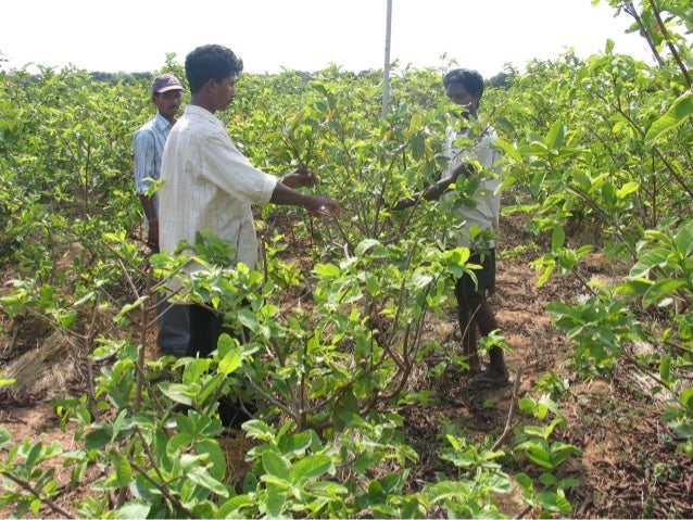  Keeping in view yield and gross income, pruning of guava plants thrice a year viz. March, May and October to 50% of shoo...