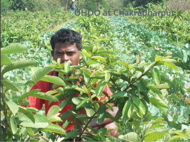 High density orcharding in fruit crops.