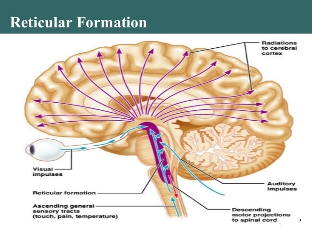 function of reticular formation Brain stem structures and the reticular formation:  several neurotransmitters are involved in reticular activating system function, including acetylcholine and .