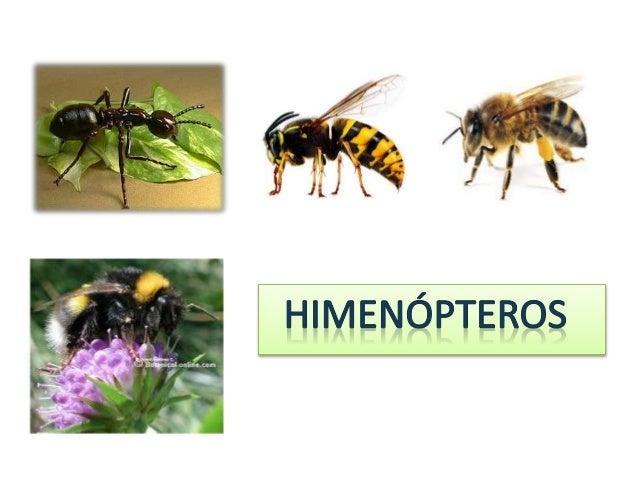 CARÁCTERISTICAS Caracterizados por poseer alas membranosas, pocas venas . Dos pares de alas . ( Griego hymen: membrana pte...