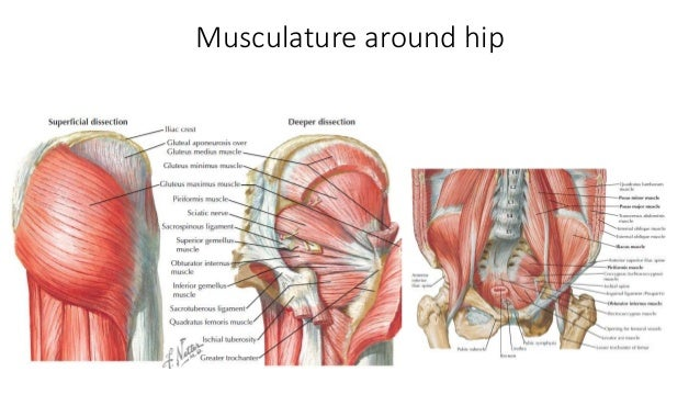 Picture Hip Anatomy Preeminent Website Photo Gallery Examples With