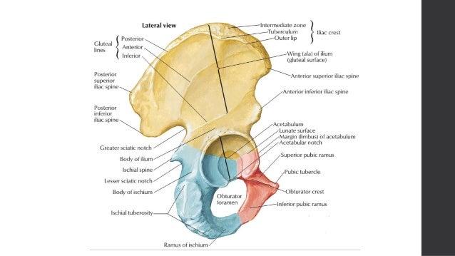 Hip bone (Gross Anatomy)