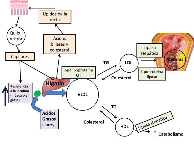 VLDL LDL HDL HígadoResistencia a la insulina (músculo y grasa) Ácidos Grasos Libres Colesterol Catabolismo TG TG Colestero...