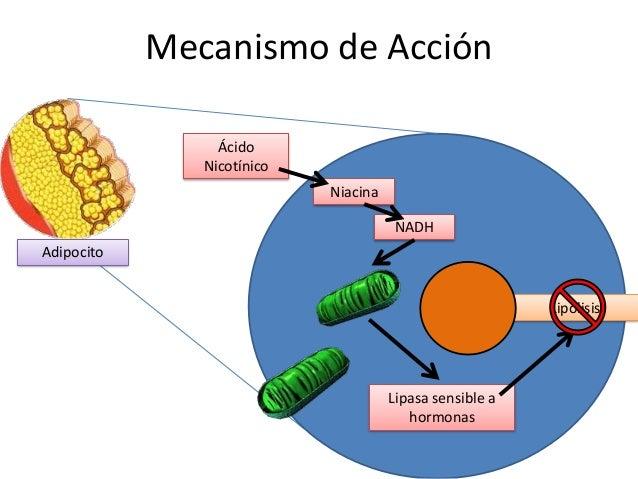 Niacina NADH Lipasa sensible a hormonas Lipólisis Mecanismo de Acción Adipocito Ácido Nicotínico