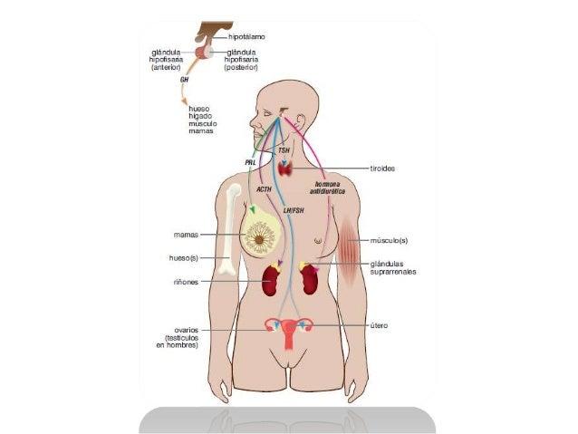 • La hormona del crecimiento (GH) es  sintetizada en la glándula hipófisis. Esta  hormona actúa como estimulador del  crec...