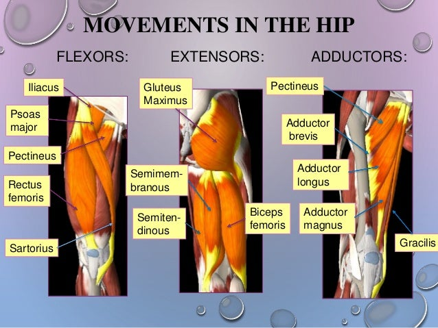 Hip girdle from anatomy to orthopedics