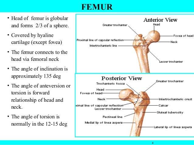 Hip joint anatomy acetabulum 6 6 femur ccuart Gallery